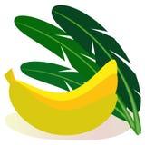 Set of tropical fruits bananas and leaves of banana palm. stock illustration