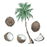 Set of tropical fruits whole and slices on a white background. Coconut. A whole coconut, half, part and palm. Set of fruits. Flat design graphic elements. Vector Royalty Free Stock Photos