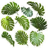 Set of tropical leaves. Set of tropical monstera leaves Royalty Free Stock Images