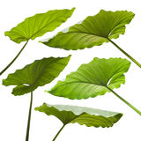 Set of tropical leaves. On white background Royalty Free Stock Photo