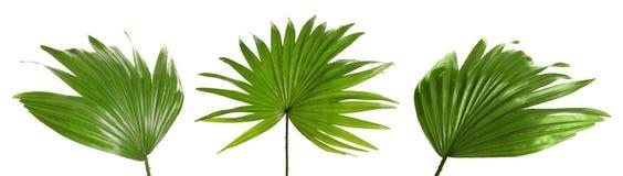 Set with tropical Livistona Rotundifolia palm leaves. On white background stock photography