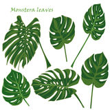 Set tropical monstera leaves. realistic drawing in flat color style. isolated on white background. Stock Images
