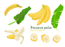 Set tropical palm banana leaves and Single, peeled and sliced fruits. realistic drawing in flat color style, isolated on white bac Royalty Free Stock Images