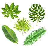 Set of tropical palm leaves, vector illustration. Isolated on white background. Realistic hand drawings of monstera, banana, palm trees as jungle, tropical Royalty Free Stock Photos