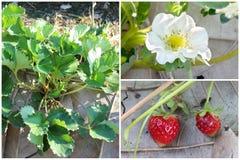 Set Truskawkowy drzewo, kwiat i owocowy uprawiać ziemię, Fotografia Royalty Free