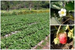 Set Truskawkowy drzewo, kwiat i owocowy uprawiać ziemię, Zdjęcie Stock
