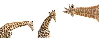 Set trzy fotografii wierzch - przyrodni żyrafy ciało odizolowywający na bielu Zdjęcia Stock
