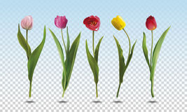 Set tulip flowers Stock Photo