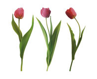 Set tulip flowers Stock Image