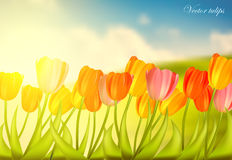 Set of tulips against sunny background Royalty Free Stock Image
