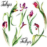 Set of Tulips flowers Stock Photography