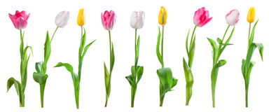 Set of tulips isolated Royalty Free Stock Photos