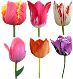 Set of 6 Tulips Stock Photo
