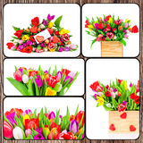 Set of tulips pictures Stock Photography