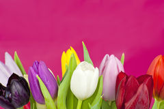 Set of Tulips on violet background Stock Photography