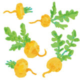 Set Turnip. Hand drawn painting on white vector illustration