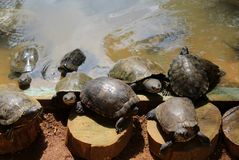 A set of turtles in the lagoon royalty free stock photo