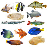 Set of twelve fishes on white background Royalty Free Stock Photo