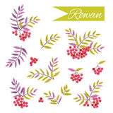 Set of twigs and berries of rowan. Set of beautiful isolated twigs and berries of rowan on the white background. Decorative vintage bouquets.  Floral design Royalty Free Stock Photography