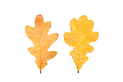 Set of two autumn leaves in different states of withering. Isolated on white background Royalty Free Stock Photos