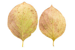 Set of two autumn leaves in different states of withering. Isolated on white background Stock Photography