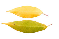 Set of two autumn leaves in different states of withering. Isolated on white background Stock Photo