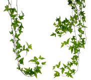 Set of two Ivy stems isolated over white. stock images