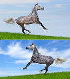 Set - two various color of galloping horses. Two various color of galloping horses in field Stock Photo