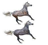 Set - two various color of galloping horses. Two various color of galloping horses - isolated on white Royalty Free Stock Photos
