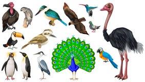 Set of varieties of wild birds. Illustration Stock Photo