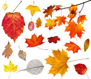 Set of various autumn leaves isolated on white Stock Photos