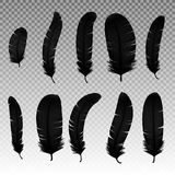 Set of various black bird feathers on a transparent background. Collection 3d realistic style soft fluffy macro swan. Vector illustration. Pen for handwriting Royalty Free Stock Image
