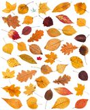 set of various dried autumn fallen leaves isolated Royalty Free Stock Image