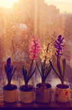 Set of various hyacinth flowers on rustic window-sill Royalty Free Stock Photos