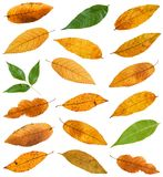 set of various leaves of ash trees isolated Royalty Free Stock Photography