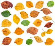 Set of various leaves of elm trees isolated. On white background stock images