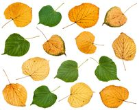 set of various leaves of linden trees isolated stock photo
