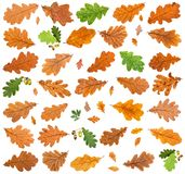 set of various leaves of oak trees isolated royalty free stock photography