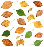 set of various leaves of poplar trees isolated Stock Images
