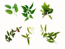 Set of various top tree of green leaves. Various top tree of leaves on white background, bai-ya-nang, chili, gardenia, pomegranate, putforth leave-buds Stock Image