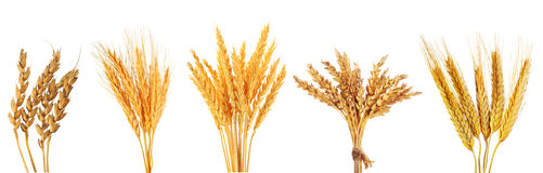 Set of various wheat ears Royalty Free Stock Image