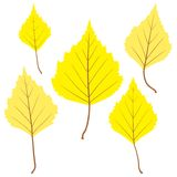 Set of vector birch leaves for your design Royalty Free Stock Image
