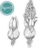 Set of vector graphic illustration of hyacinth flowers. Botanical set. retro set Royalty Free Stock Images
