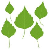 Set of vector green birch leaves for your design Stock Images