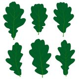 Set of vector green oak leaves for your design Stock Photos