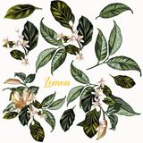 Set of  vector hand drawn realistic citrus lemon flowers for desi Stock Photos