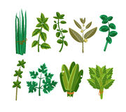 Set of 9 vector herbs Stock Photos