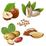 Set vector icons of nuts. Set of vector icons of nuts - hazelnuts, brazil nuts, peanuts, pistachio and ground nuts isolated on white Royalty Free Stock Images