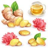 Set vector illustration of a fresh ginger root, sliced, flower and ginger tea. Royalty Free Stock Image