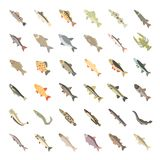 Set Vector Flat Icons of Freshwater Fish. Set vector illustration of freshwater fish. Flat elements on white background Stock Image